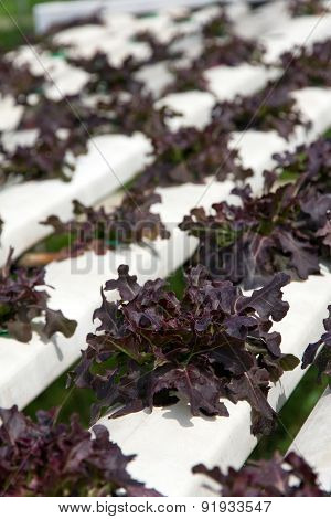 Hydroponics vegetable farm background
