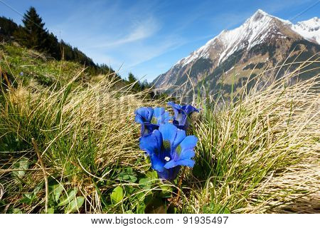 wild gentian with mountain in background