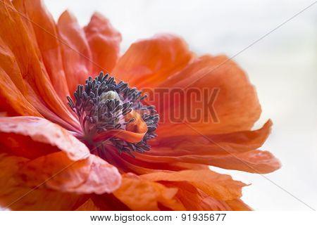 Pistils Inside Poppy's Blossom
