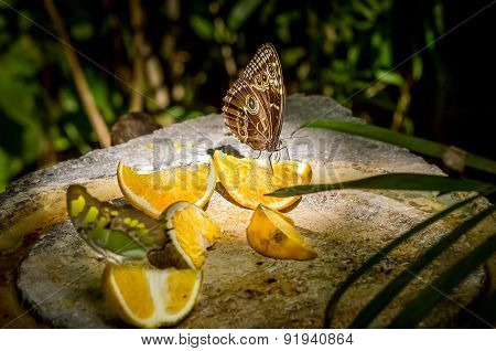 Owl Butterfly Feeding On Fruits