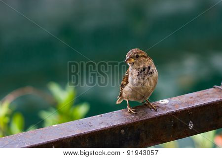 Little sparrow on natural background: golden section