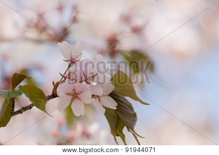 Blossoming Oriental Cherry Sakura In The Cherry Orchard In The Spring