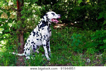 Dalmatian in forest.