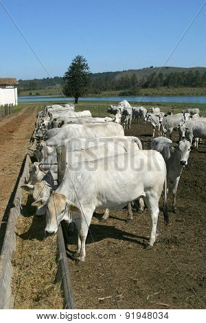 Cows And Ox Feeding