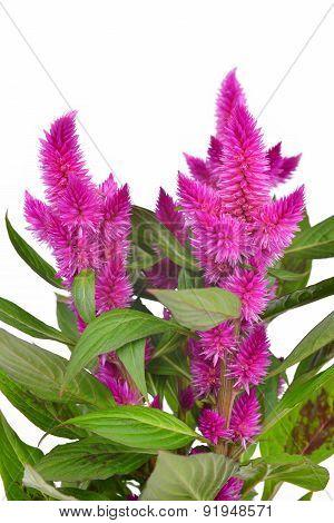 Cockscomb celosia spicata