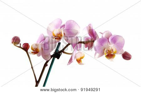 Stem Of Pink Orchid.