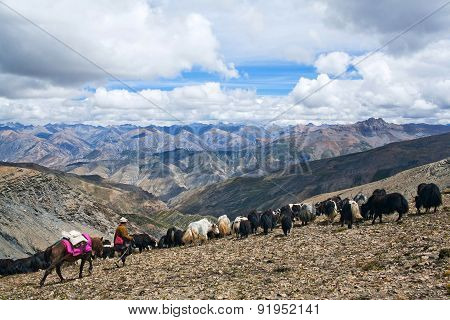 Caravan Of Yaks in the Nepal Himalaya