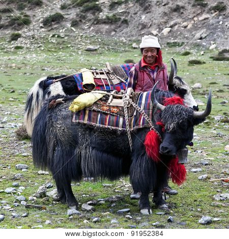 Drover with yaks, Nepal
