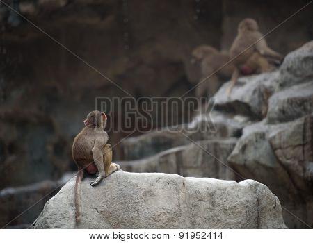 Baby Of Hamadryas Baboon
