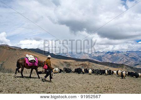 Caravan Of Yaks