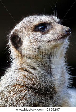 Meerkat Large