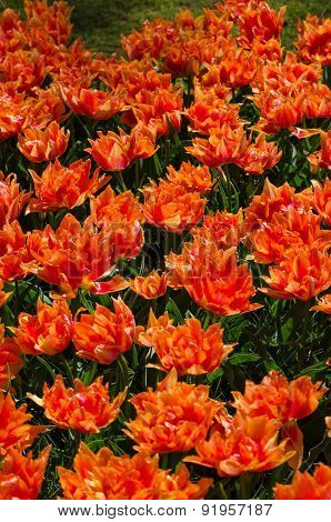 Orange Tulips In Keukenhof, Lisse
