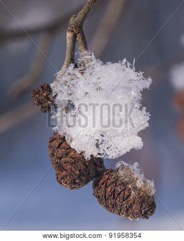 black alder mature cones