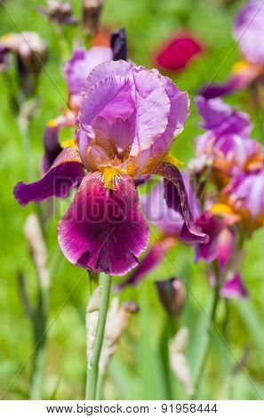 Portrait of purple iris flower
