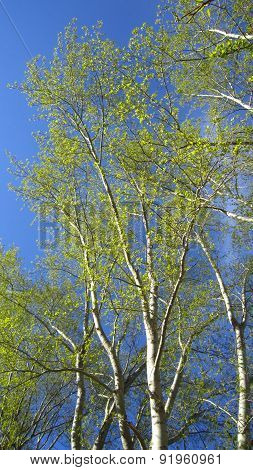 Poplar Branches And Leaves