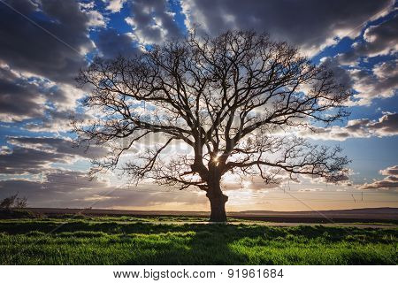 Big Green Tree In A Field, Dramatic Clouds, Sunset Shot