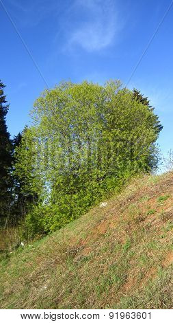 Round Willow