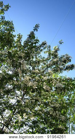 Flowering Branches Of Apple Tree