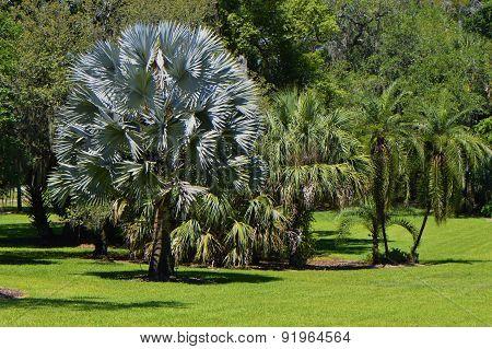 Bismark Palm Latin name bismarckia nobilis in Marie Selby Botanical Gardens, Sarasota, Florida, USA