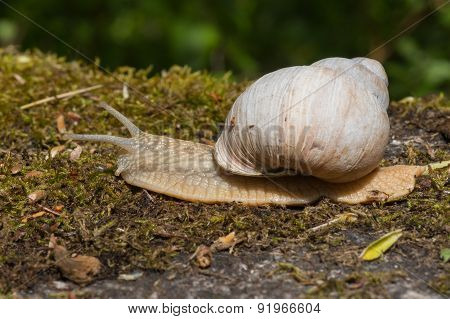 Burgundu Snail On Moss