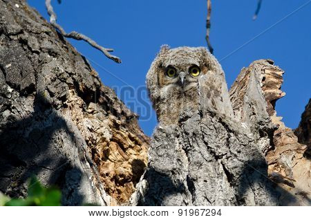 Adorable Young Owlet Making Direct Eye Contact With You From Its Nest
