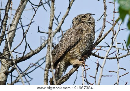 Great Horned Owl Scanning Across The Tree Tops