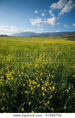 Vertical View Of Mustard Field