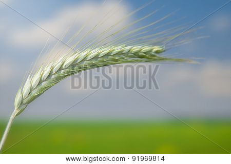 Unripe Wheat field on blue sky background
