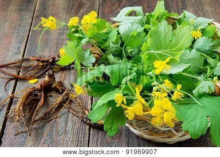 Harvesting For Celandine Herbal