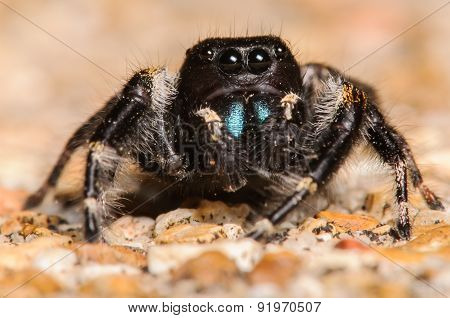 Gorgeous Black Johnson Jumper Spider With Blue Fangs