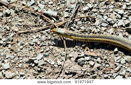 Head Of Garter Snake On Gravel And Twigs.