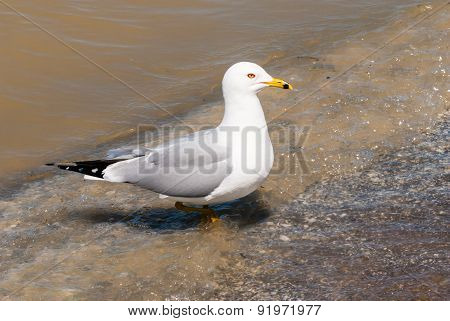 Seagull Stepping From Water Onto Beach.