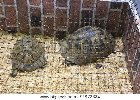 Two Testudo Hermanni Tortoises