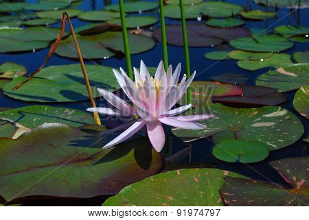 Pink Water Lily (Nymphaeaceae)