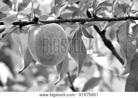 Black And White Photo Of Peach On Branch