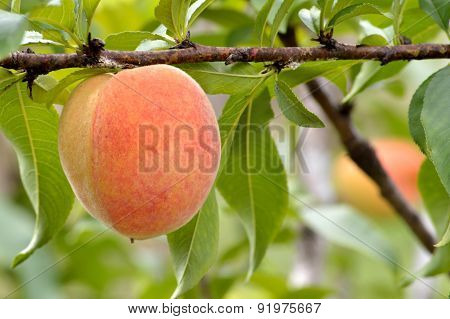 Ripe Peach Hanging On Branch