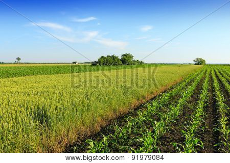 wheat and corn field