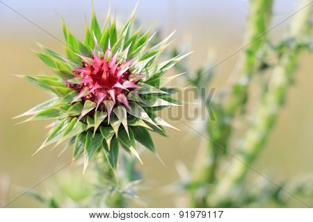 Burdock thorny flower. (Arctium lappa) on blur background