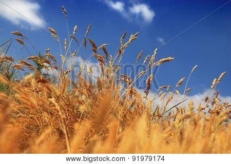 dry summer dune grasses