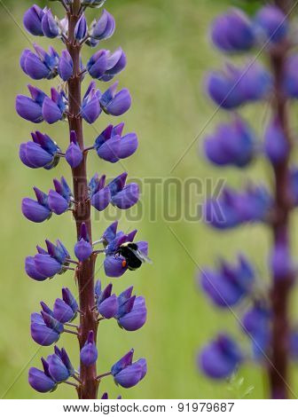 Bumble Bee On Parallel Stems Of Delphinium