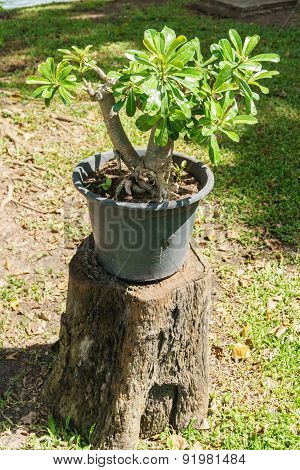Plant In A Pot On The Stump