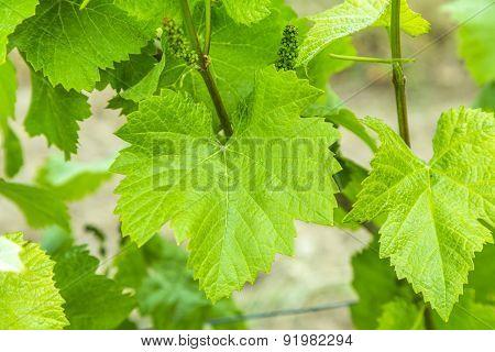 Background Of Fresh Grape Leaves