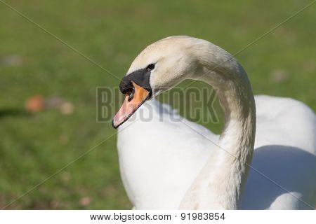 White Swan Close Up