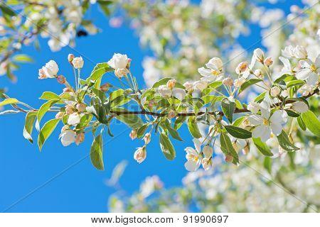 Prunus padus blossom, macro