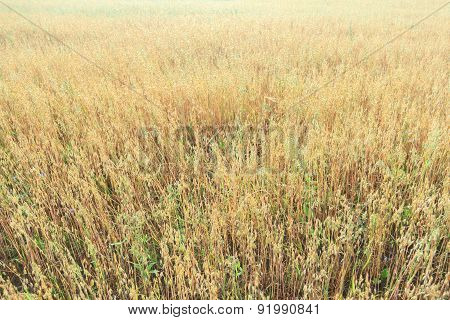 Midsummer Oat Or Avena Sativa Farm Field Floral Covering Texture