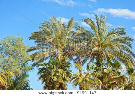 Palm tree tops against a blue sky