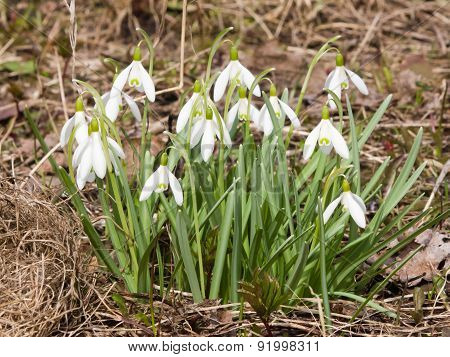 Snowdrops In Early Spring