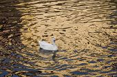 pic of webbed feet white  - A white duck swimming in golden sparkling water - JPG