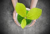 stock photo of magnolia  - Pot magnolia in female hands - JPG