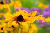 stock photo of black-eyed susans  - Black eyed susan in the home garden - JPG